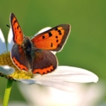 Vlindertelling 2016: doe mee via de Vlindermee app