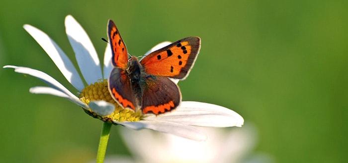 Vlindertelling 2017: tel dit weekend vlinders via de Vlindermee app