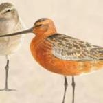 Herken alle vogels in het waddengebied met de Wadvogels app