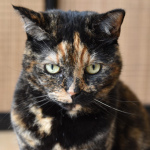 MeowTalk: Shazam voor katten vertaalt wat gemiauw betekent